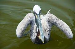 Ensam fågel som stirrar på kameran från vatten arkivbilder