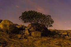 Ensam fikonträd under månsken Fotografering för Bildbyråer
