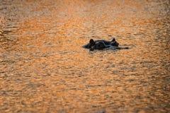 Ensam flodhäst i vatten arkivbilder