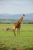 ensam giraff Arkivbild