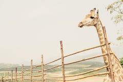 Ensam giraff i zoo Arkivbilder