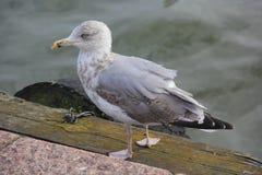 Ensam grå seagull med den gula näbb som går på promenaden bredvid vattnet arkivfoto