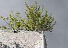 Ensam grön buske på betongväggen Royaltyfri Bild