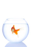 ensam guldfisk Arkivfoton