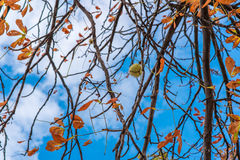 Ensam hängande kastanj Royaltyfri Fotografi
