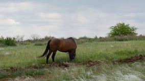 Ensam härlig brun häst i den gröna ängen lager videofilmer