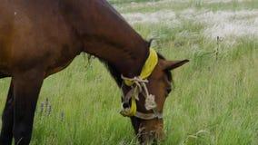 Ensam härlig brun häst i den gröna ängen, slut upp stock video