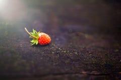 Ensam härlig röd lös jordgubbe på en oskarp mörk bakgrund Skog abstrakt bakgrund med en solstråle royaltyfri fotografi