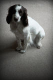 ensam hund Royaltyfria Foton