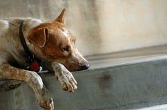 ensam hund Royaltyfri Foto