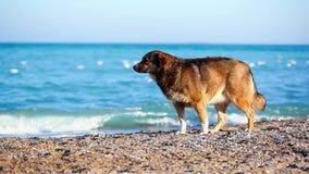 Ensam hund på stranden som söker efter ägaren