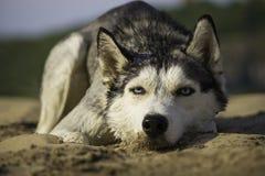 Ensam hund som ligger på sanden Royaltyfri Fotografi