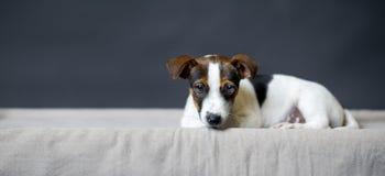 Ensam Jack Russell Terrier valp som framme ligger av grå bakgrund Arkivbild