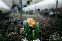Ensam kaktus Arkivbild