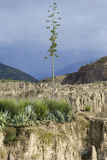 Ensam kaktusblomma i berglandskap Royaltyfria Foton