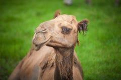 Ensam kamel Arkivfoton