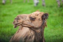 Ensam kamel Arkivfoto