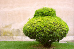 Ensam klippt buske på en gammal stenvägg Royaltyfria Bilder