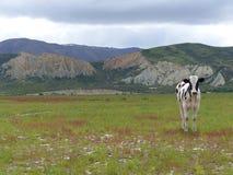 Ensam ko med leraklippor på fjällängar till havritten Arkivfoto