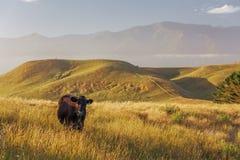 Ensam ko på den Kaikoura halvögångbanan, Nya Zeeland Royaltyfria Foton