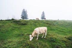 Ensam ko som betar i de schweiziska fjällängarna arkivbild