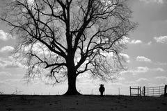 Ensam ko under träd Arkivfoton