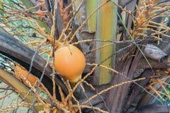 Ensam kokosnöt i ett träd Arkivbild