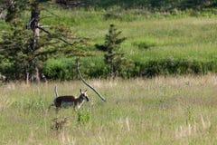 Ensam kvinnlig antilop arkivbild