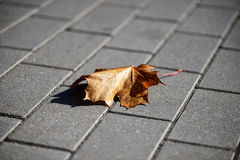 Ensam lönnlöv på trottoaren Arkivbild