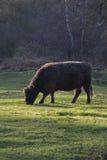 Ensam lös galloway ko som betar i natur Arkivbild
