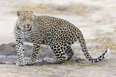 Ensam leopard som går och jagar under dag Arkivfoton