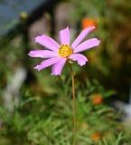 Ensam lilablomma i den ljusa solen Royaltyfria Bilder