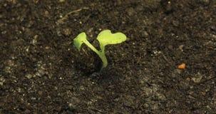 Ensam liten grön växt som dör i det torra landet för jordbakgrund, global uppvärmning, utkastbegrepp, katastrof, livcirkulering lager videofilmer