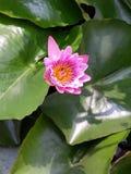 ensam lotusblomma arkivbild