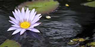 ensam lotusblomma Arkivfoto