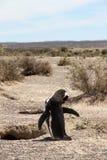 Ensam Magellanic pingvin nära ett rede. Arkivfoton
