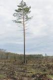 Ensam man bland avverkad timmer Ett högväxt träd royaltyfri bild