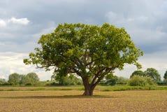ensam oak arkivfoto