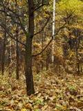 ensam oak Royaltyfria Bilder
