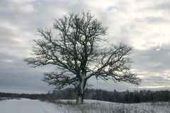 ensam oak royaltyfri bild