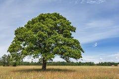 ensam oaktree Royaltyfria Foton