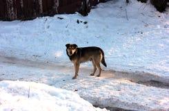 Ensam och hungrig tillfällig hund i vinter royaltyfria foton
