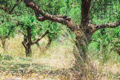 Ensam olivträd i Kreta, Cretanträdgård arkivbild