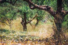 Ensam olivträd i Kreta, Grekland arkivbild