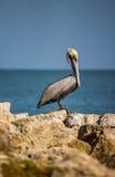 Ensam pelikan på reven Arkivfoto