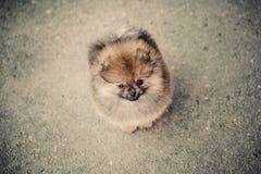 Ensam Pomeranian Spitz på gatan Arkivfoton