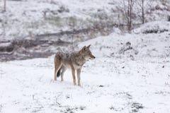 Ensam prärievarg i ett vinterlandskap Arkivbilder