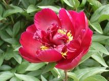 Ensam röd pionblomma 'Carina', Fotografering för Bildbyråer
