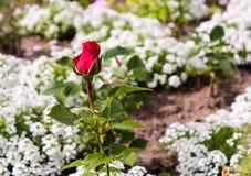 Ensam röd ros bland vita blommor arkivfoton