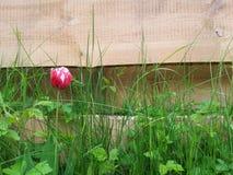Ensam röd tulpan framme av träbackgroud Arkivfoton
